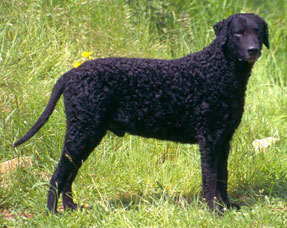 The curly-coated retriever was in development before the importation of St. Johns water dogs from Newfoundland. However, it was crossed with it at some point. It shows a very strong water spaniel ancestry and may include the last remaining European water dogs in its ancestry. It was once a very common breed.
