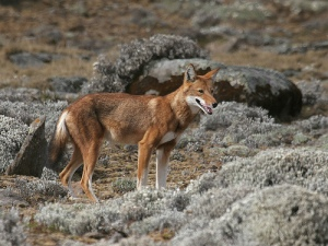 Native only to the highlands of Ethiopia, the Ethiopian wolf is the world\'s most endangered wild canid. Originally classified as a species of jackal, the Ethiopian wolf is now considered to be a species of wolf, after some analysis of its mitochondrial DNA showed that it was much more closely related to wolves than jackals.