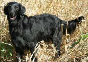 The flat-coated retriever still maintains its working ability and its lighter build for fast retrieval work. However, the breed is often considered more difficult to train than goldens and Labs, but this breed is far rarer than either of those two breeds, even though the three were interbred extensively!