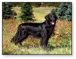 This Flat-coat is more moderate in frame than the very lightly built dogs we often see in the breed today. Goldens have the exact opposite problem-- too cobby to be of any use. This dog could pass for a working-bred golden, if it were gold in color. Both breeds descend from the Wavy-coated retriever.
