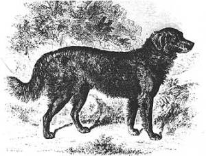 This dog is listed as a setter/retriever cross. It's probably a cross between a short-haired St. John's Water Dog and a setter. It is typical of early wavy-coats.