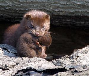 An American mink carries her offspring.