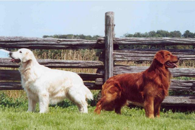 English golden retrievers | Natural History