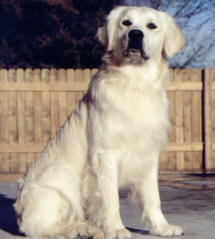 white-polar-bear-golden