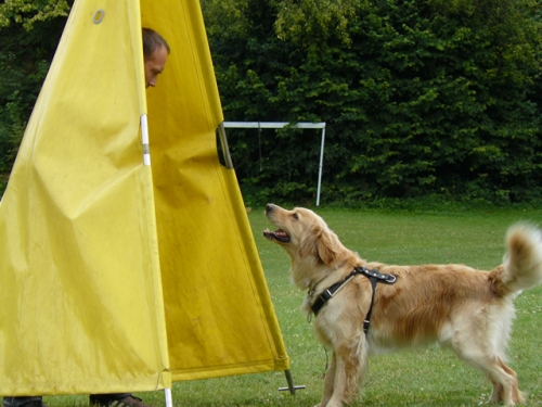 The blond hovawart looks like a golden retriever. However, it is a German guard dog. It can be used in various protection dog sports, and goldens cannot.