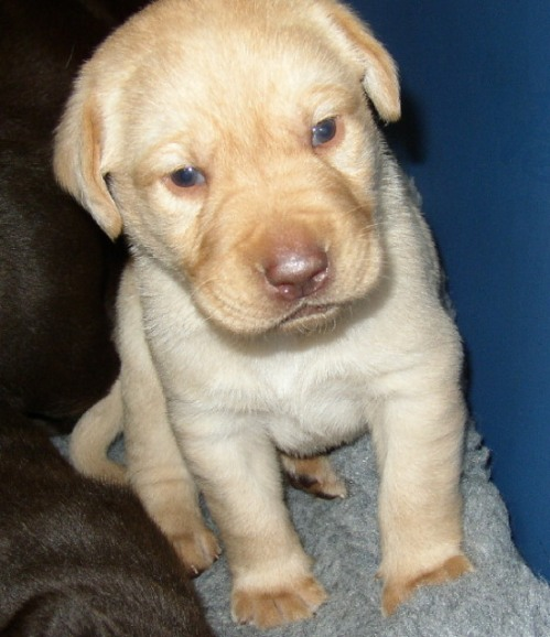 This yellow Labrador puppy is a chocolate/liver, but his gene for coat color is the recessive red to yellow.
