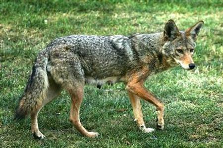 coyote-comparison