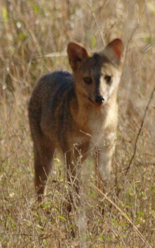 "This South American ""fox"" may have interbred with domestic dogs. It is more closely related to dogs than the animals we in the Northern Hemishere think of as foxes."