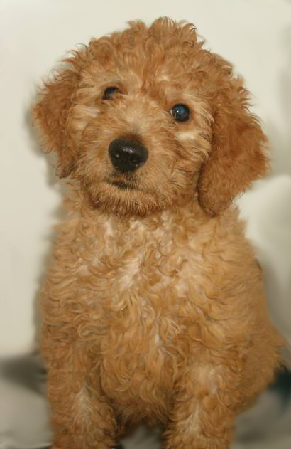 goldendoodle pictures. What is an Irish goldendoodle?
