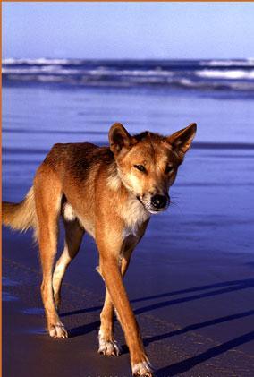dingo-comparison
