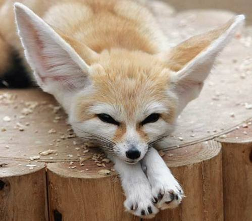 Could the Fennec fox be the Chihuahua's ancestor? I'm going to have to go with no on that one.