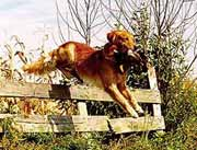 golden-retriever-leaping