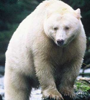 These cream-colored American black bears are found only along the central coast of British Columbia.