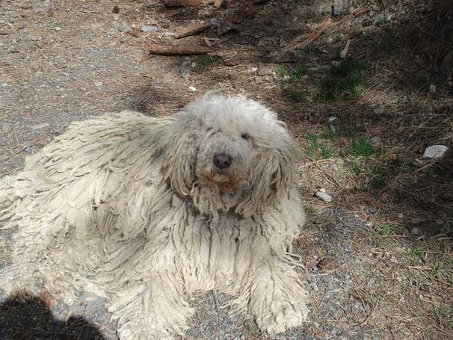 "The mondern Komondor from Hungary is quite similar to the description of one version of the supposed ""Russian retriever."""