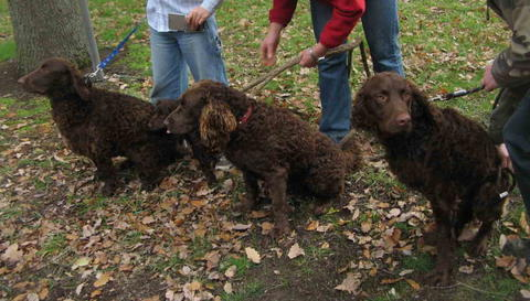 Could the Murray River curly be the last of the Norfolk retrievers?