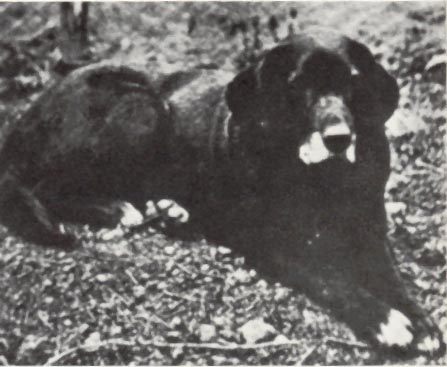 Nell was a St. John's water dog from the Duke of Buccleuch's strain. This strain is the line from which the Labrador descends.
