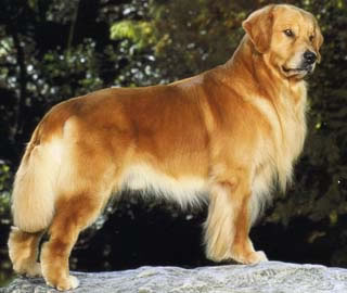 A Look At Golden Retriever Types Natural History