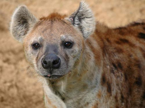 The spotted hyena is actually more closely related to the domestic cat than any species of dog.