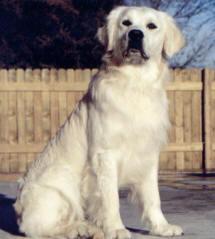 white-polar-bear-golden1