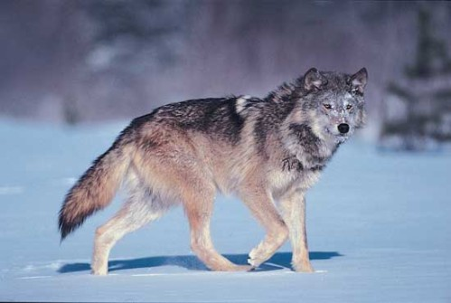 wolf-comparison