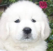 cute-white-retriver1