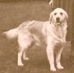 """This early light-colored dog from the 1950's or 1960's is still darker than the legions of """"white"""" dogs that swarm European lines."""