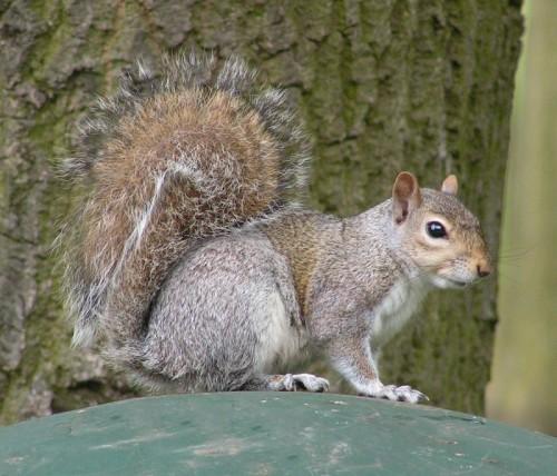 eastern-gray-squirrel