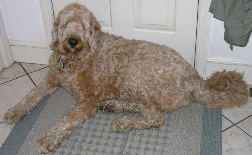 Rescuing a Labradoodle would be a smart move.