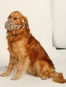 muzzled-golden-retriever1