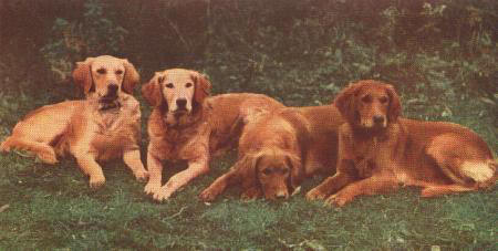 Noranby Diana is the second dog from the right. She was an English conformation champion, and she had completed a leg or two of her field championship.
