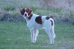 This Irish red and white setter has the broad retriever-like skull that was once common in all Irish setters of both colors.