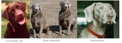 The silver coloration never existed in Labrador until it was crossed with the Weimaraner.