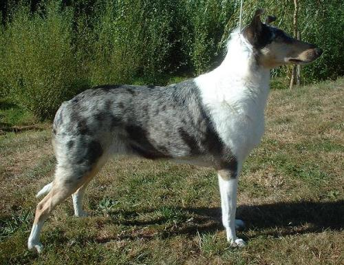 Breeding the smooth collie as a show dog has made it significantly dumber than the working collie from which it descends.