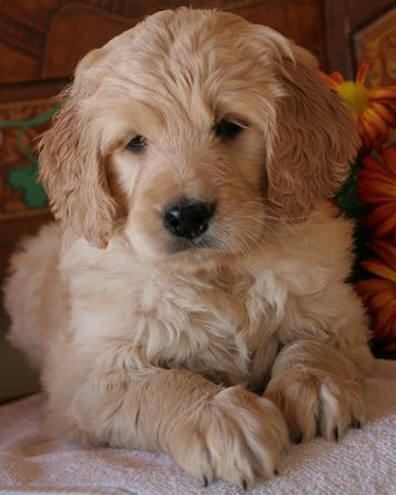 Not All Goldendoodles Are Doodly Natural History