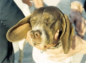 This is a Turkish pointer or Çatalburun. It is one of several split-nosed pointers.