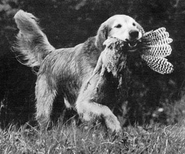 Dual Ch-AFC Tiagathoe's Kiowa II was a dog of distant Holway breeding.