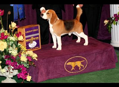 "CH K-Run's Park Me In First (""Uno"") won last year's Westminster Kennel Club Dog Show."