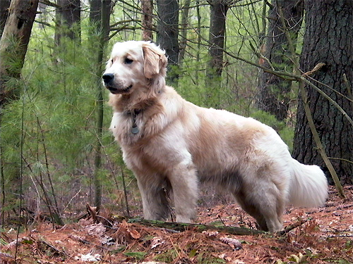 white golden retriever wikipedia