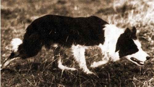 "Virtually all working border collies used in trials are descended from this dog, ""Wiston Cap."""