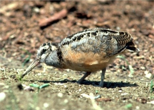 american-woodcock