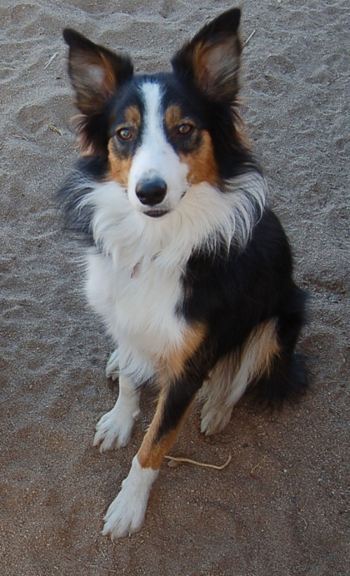 This tricolor BC has the black and tan coloration that its ancestors introduced into retrievers and Gordon setters.