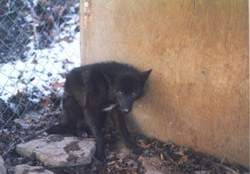 Black coyote.