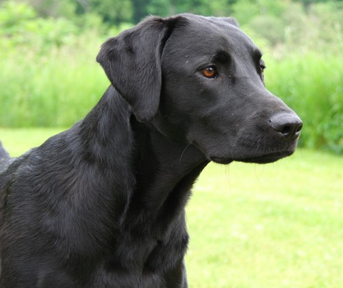 black-working-labrador