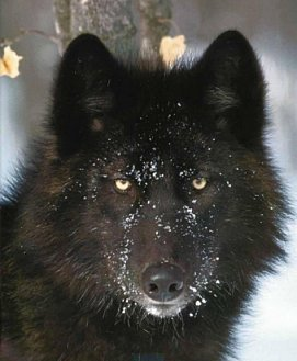 Black wolves got their black color from dogs.