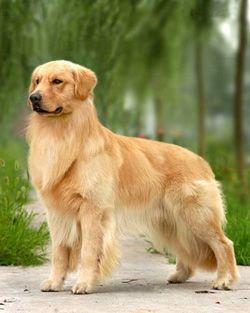 blond-show-golden