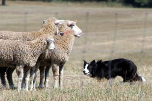 border-collie-herding