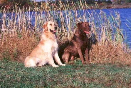 Chesapeake Bay Retriever Family Dogs