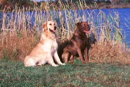 The golden retriever and Chesapeake Bay retriever are descended from the same ancestors, the St. John's water dog and the wavy-coated retriever. However, they are very different dogs in terms of temperament.