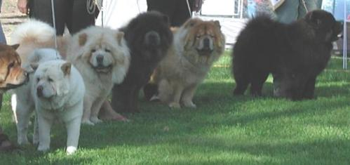 There are two smooth chows in that photo that are a bit different from the dog in the video.