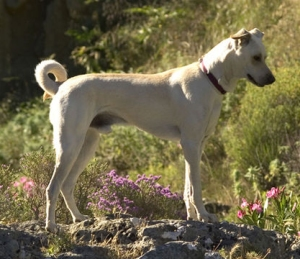 This Cretan hound is something like the dogs Xenophon calls the Castorian.